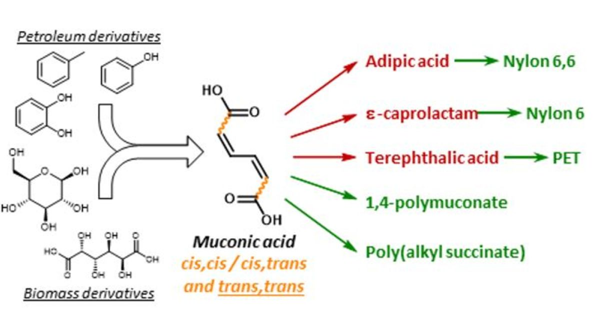 [51] Muconic acid isomers as platform chemicals and monomers in the biobased economy